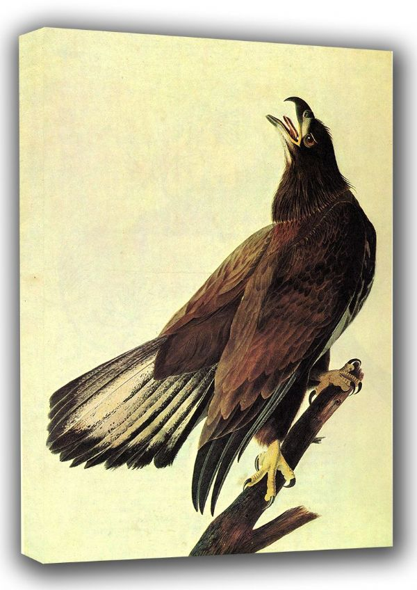 Audubon, John James: Bald Eagle. (Ornothology/Bird) Fine Art Canvas. Sizes: A3/A2/A1 (001006)